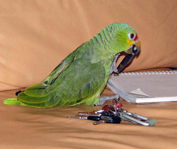Papegaai gaat op Tenenjacht