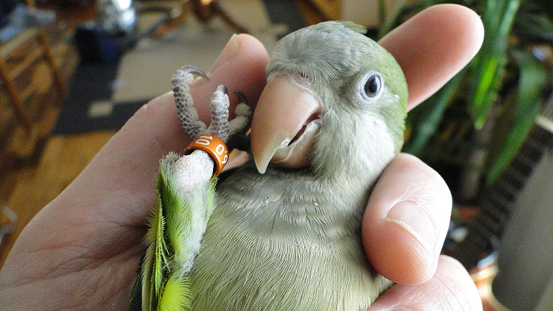 Babyvogels Jonge Muisparkiet Baby's