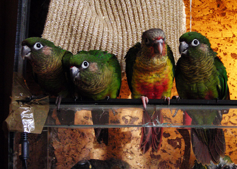 Babyvogels lekker in bad, tamme pyrrhura parkieten