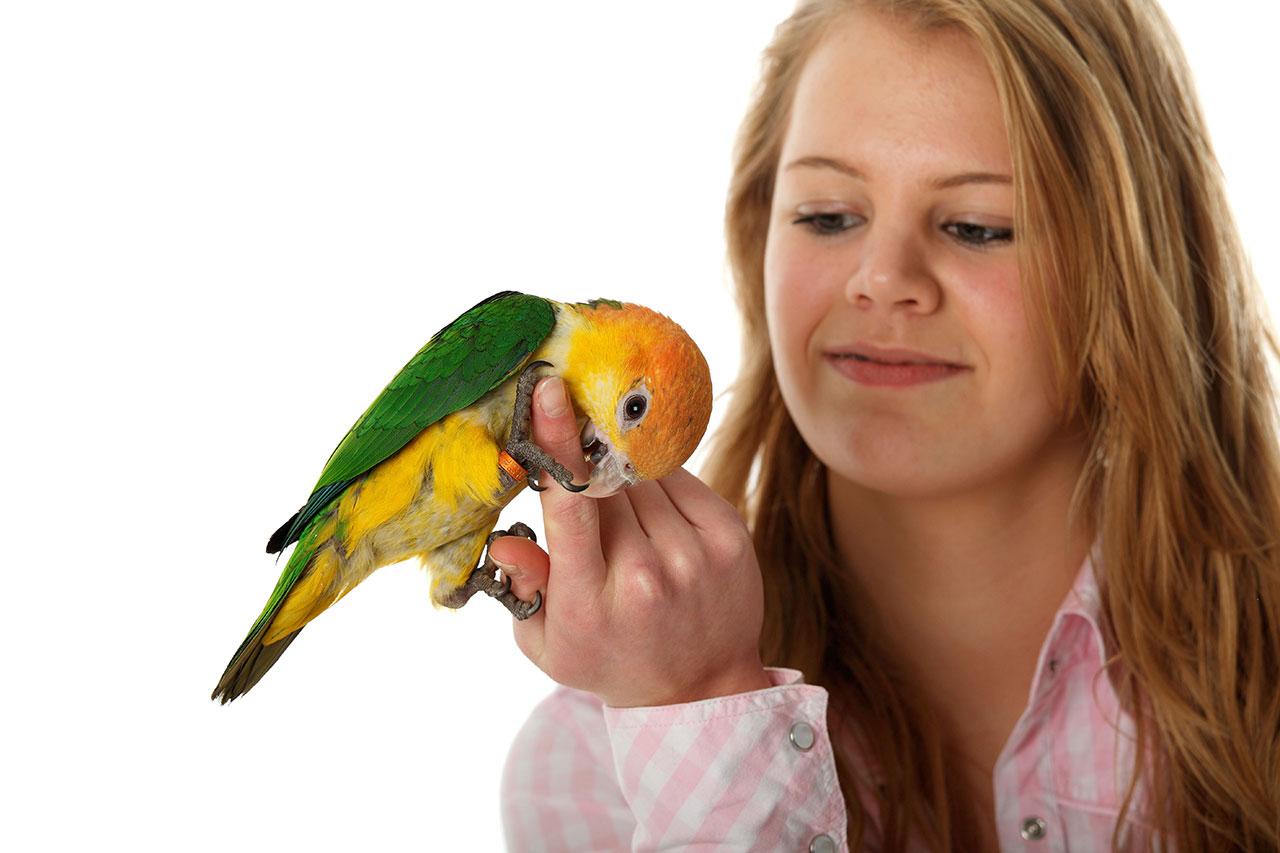 Babyvogels Witbuik Caique & Papegaai