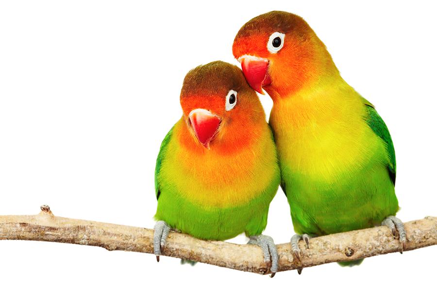 Een wilde papegaai of parkiet tam maken